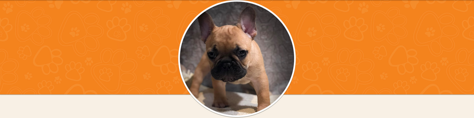 Standing French Bulldog Puppy