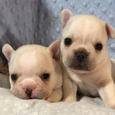 Adorable Frenchies